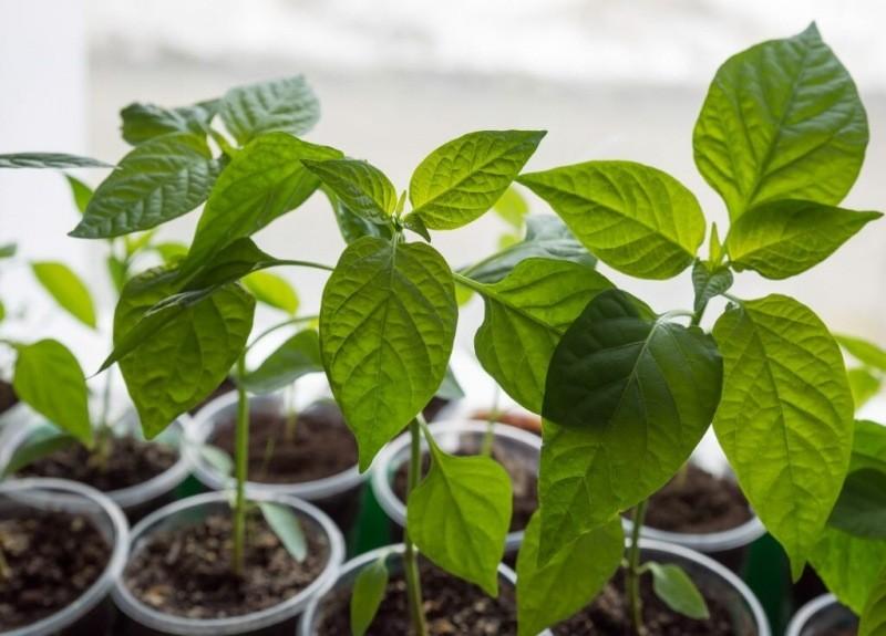 О досадных ошибках в выращивании рассады перца: не дают вырастить выгодные растения