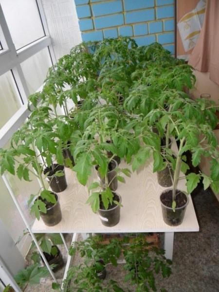 О грубых ошибках сильно вредящих рассаде томатов при пикировке
