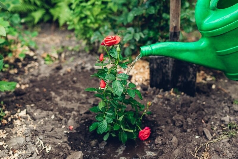 Первая и важная весенняя подкормка для роз - что я использую для стимуляции роста быстрого кустарников