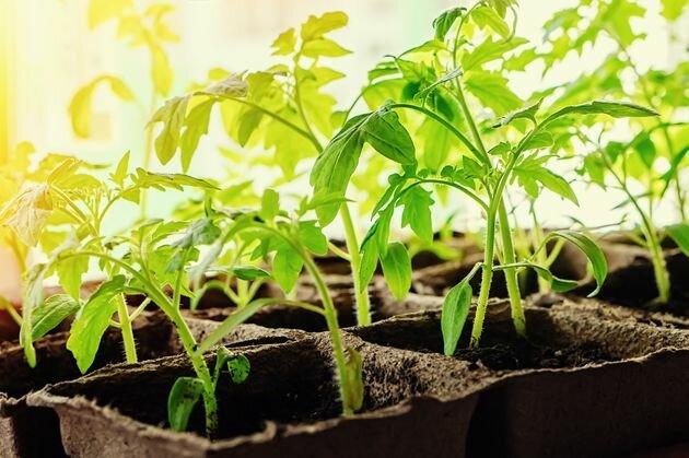 Рассада: как правильно заложить основу урожая