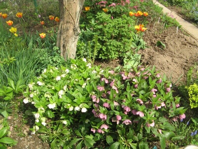 Рождественские розы - зимнее солнышко в саду