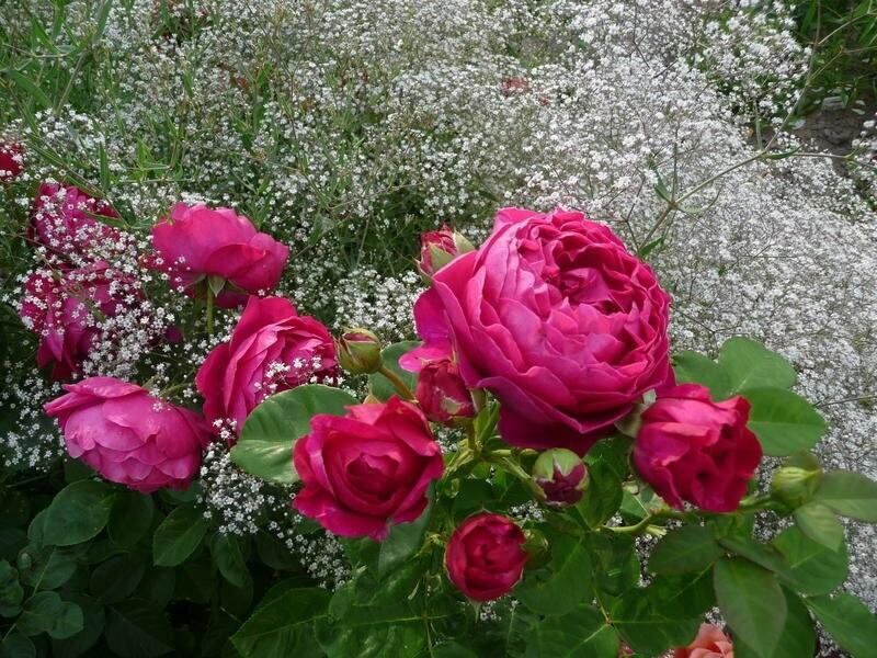 Розы станут намного красивее, если рядом с ними посадить некоторые растения