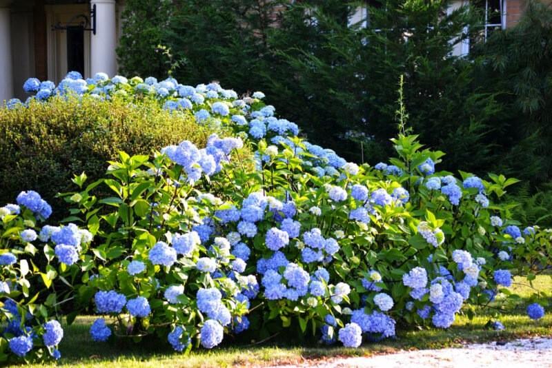 Секрет обильного цветения гортензии