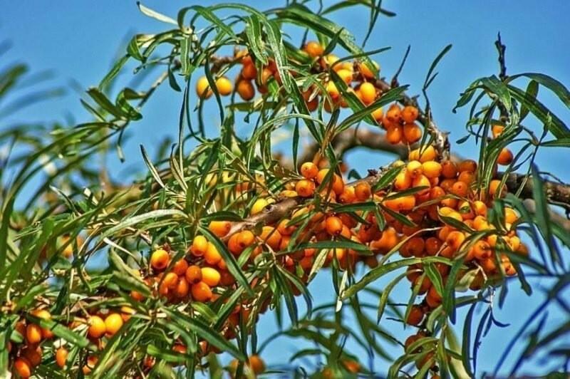 Выращивание облепихи — все тонкости и правила