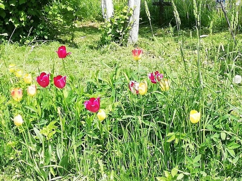 Было бы время, тюльпаны на даче выращивала бы только так: показываю какие я видела невероятной красоты клумбы
