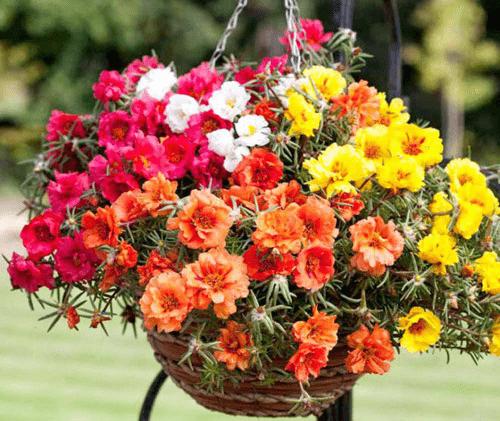 Чем заменить петунию и лобелию: обильно цветущие однолетники для вазонов и кашпо