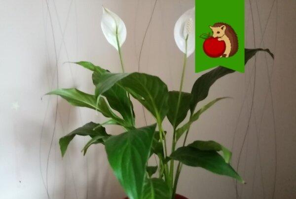 Что нужно сделать со спатифиллумом в марте, чтобы весной он активно рос и обильно зацвел?