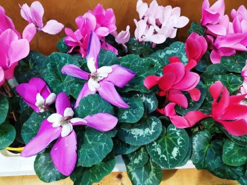 Цикламен — растение на выброс после цветения номер один