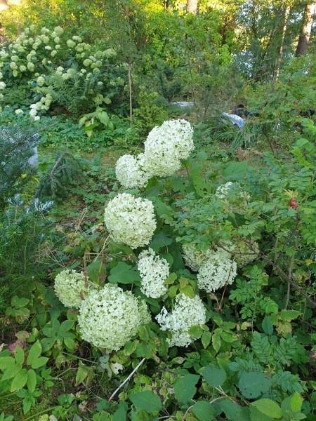 Гортензии в моем саду