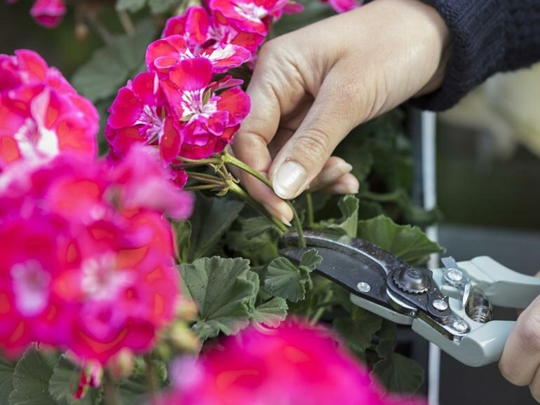 Как я обрезаю Герань в конце марта и она превращается в шикарное Пышное растение
