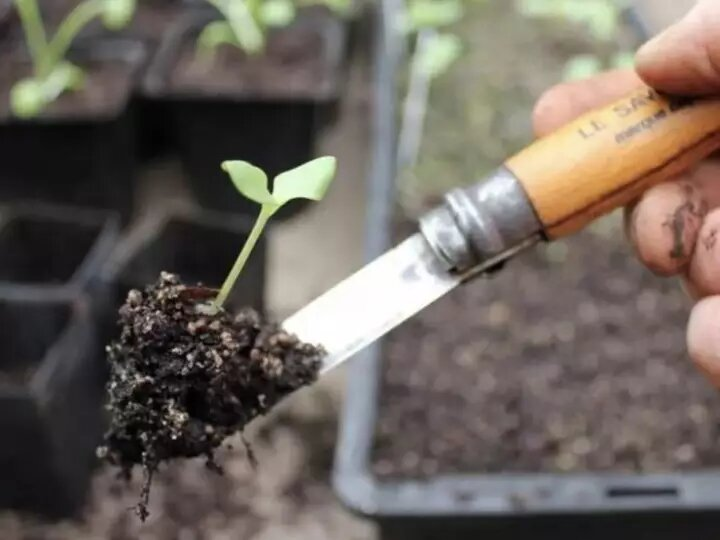 Как пикировать томаты: инструкция от А до Я для выращивающих рассаду дачников