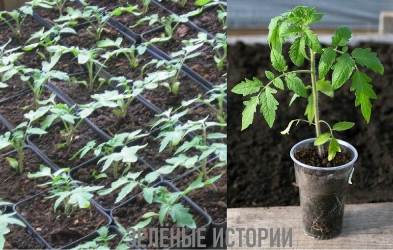 Как укрепить ствол и корни рассады помидоров – секретный рецепт (ещё никому не рассказывала про него)