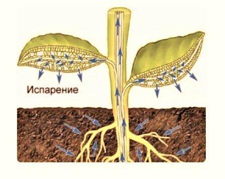 Какие деревья являются осушителями грунта и что лучше посадить около выгребной ямы