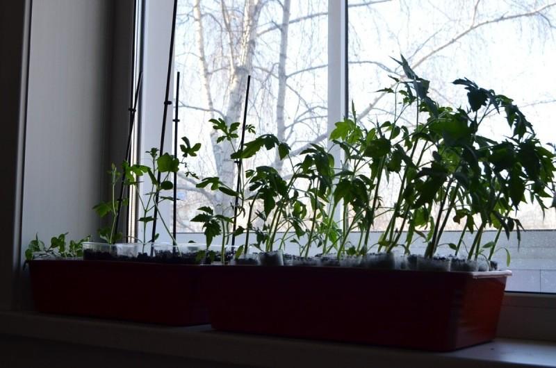 Китайский метод выращивания рассады томатов, всегда дает больше урожай, мой опыт