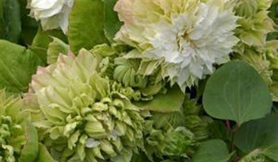 Клематис Midori: нежно-зеленое чудо на участке