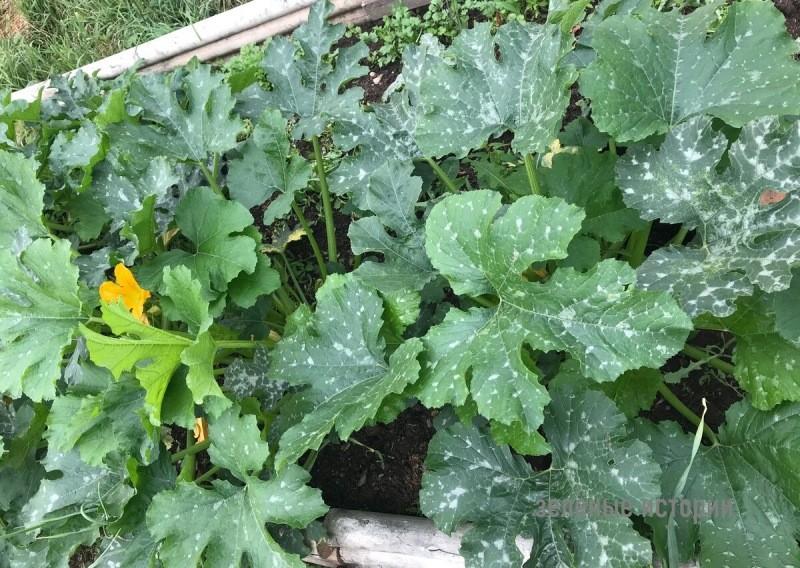 Когда посеять кабачки на рассаду, чтобы уже в мае были свежие со своего огорода