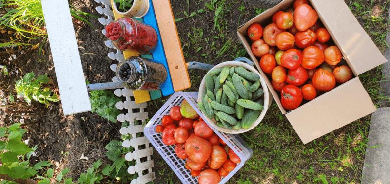 Когда сеять помидоры, чтобы получить хороший урожай