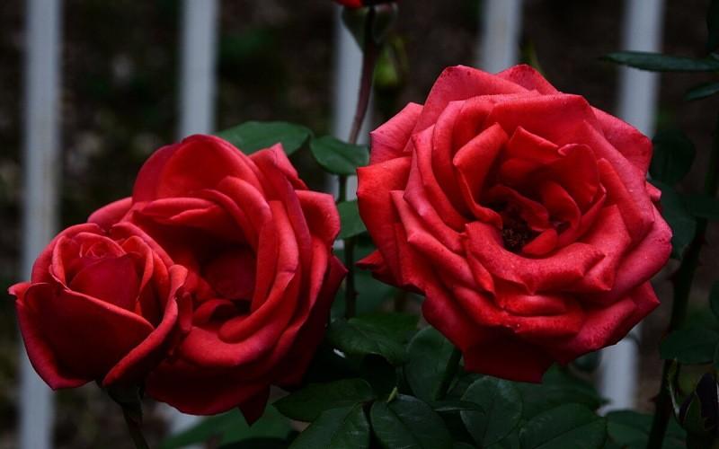 Не спешите расставаться с кустом розы, неудачно перезимовавшей – рассказываю как реанимируют такие растения опытные садоводы