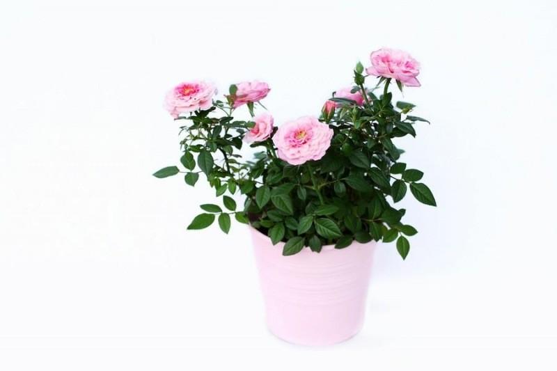 Никогда не было обильного пышного цветения роз, пока не узнала секрет обрезки