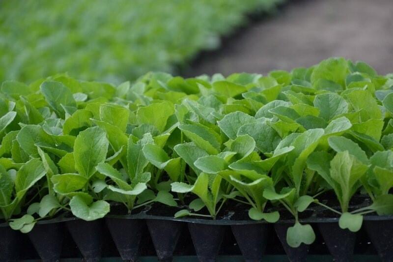 Пекинская капуста: когда сажать семена на рассаду?