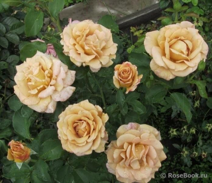 Розы флорибунды с необычной редкой окраской. Розы, меняющие цвет