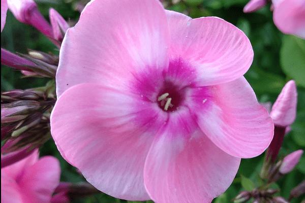 Сделайте это весной с флоксами, и они вас отблагодарят пышным цветением.