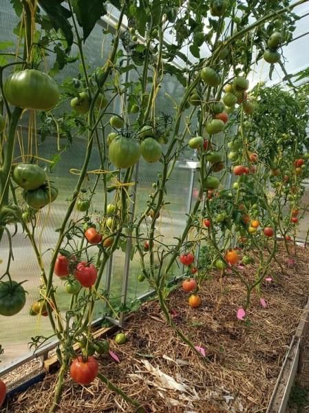 Сдерживалась, как могла, в результате посеяла на рассаду 38 сортов помидор))
