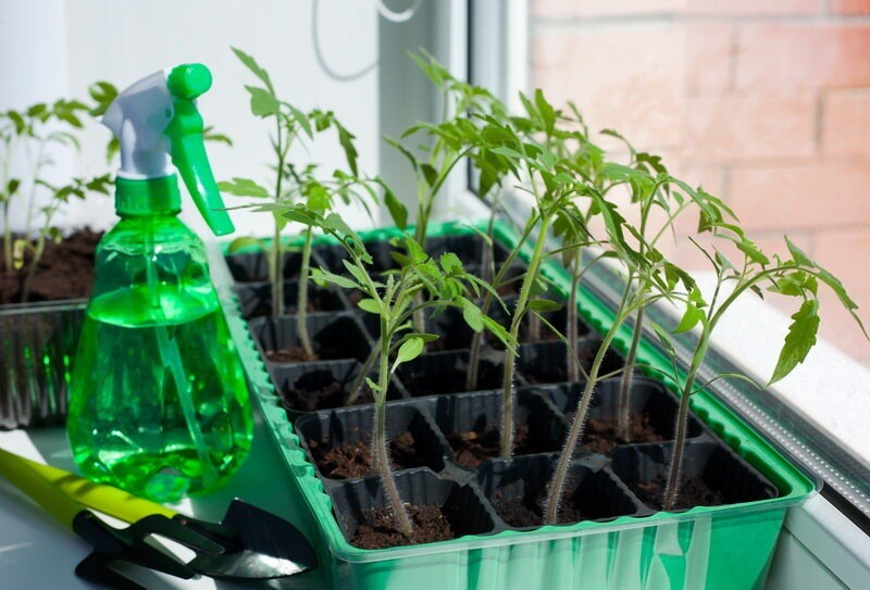Секреты выращивания идеальной рассады томатов