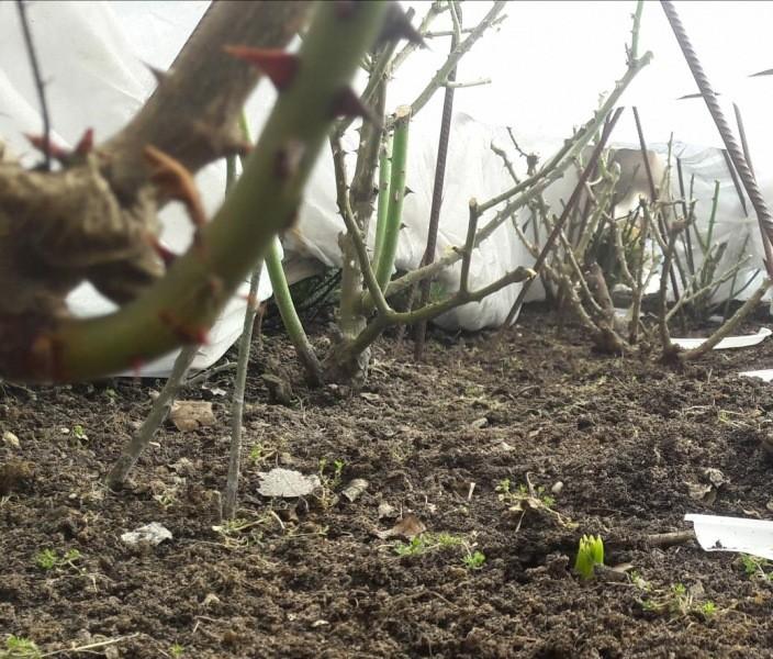 Шпаргалка №0 по уходу за РОЗАМИ. Снег начинает бурно таять - что делать.