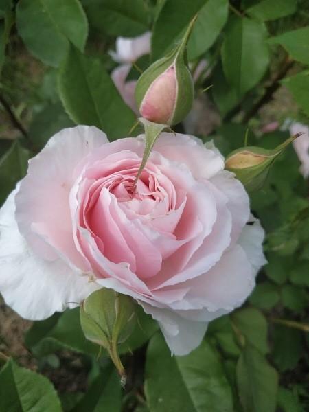 Такой уход за розами весной обеспечит мощные кусты и пышное цветение.