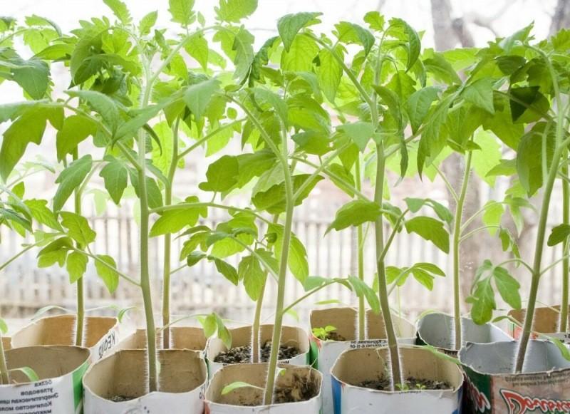 """Выращиваю каждый год коренастую рассаду помидоров, дающую потом урожай без промахов. """"А у меня не выходит""""? Помогут 4 правила"""