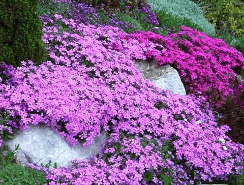 Вытесняем сорняки почвопокровниками: подборка цветущих многолетников, стелющихся по земле