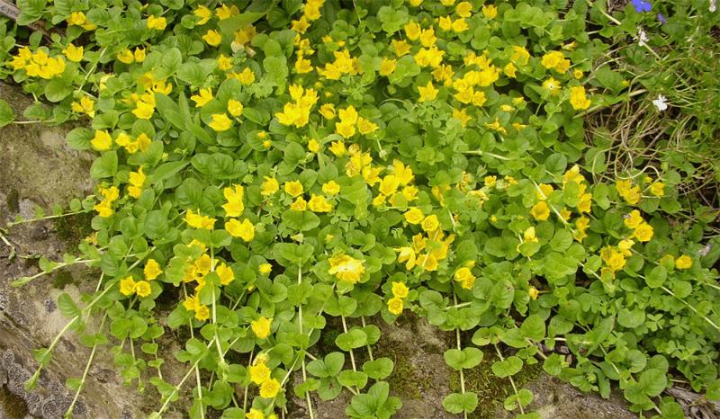 Заменяем сорняки почвопокровниками: подборка цветущих многолетников, стелющихся по земле