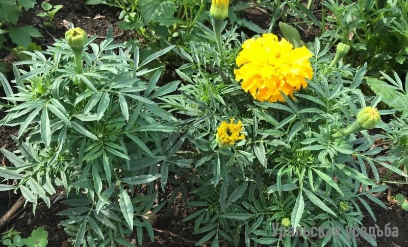 Бархатцы цветут «шапками» – рассказываю, чем их поливаю перед высадкой в грунт