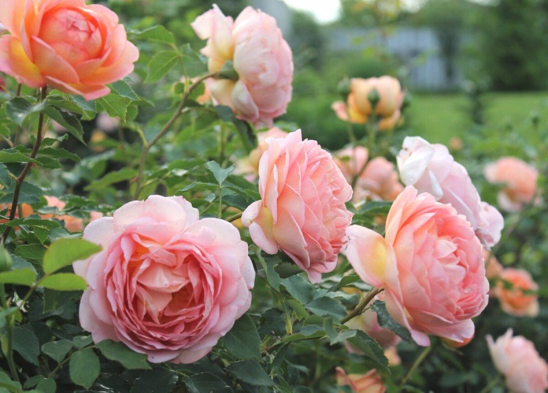Чем кормить розы в мае, чтоб розы обильно цвели все лето