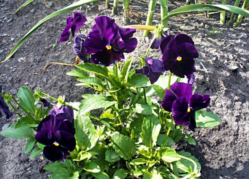 Что посадить на клумбу-самосейку, чтобы каждый год сама по себе цвела. Мой список цветов