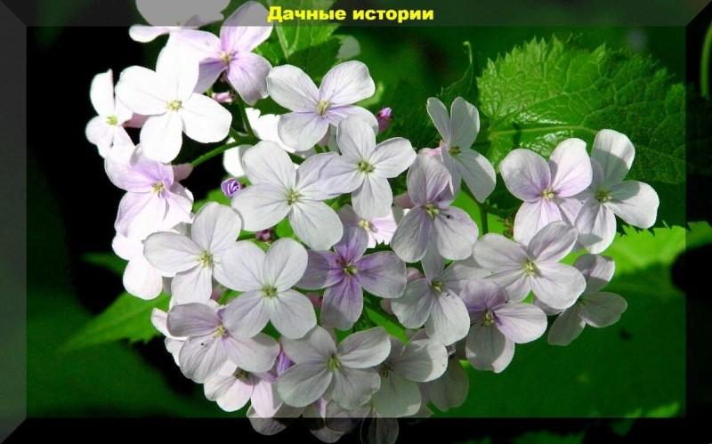 Долгое и раннее цветение без рассады. Цветы, которые можно вырастить без рассады
