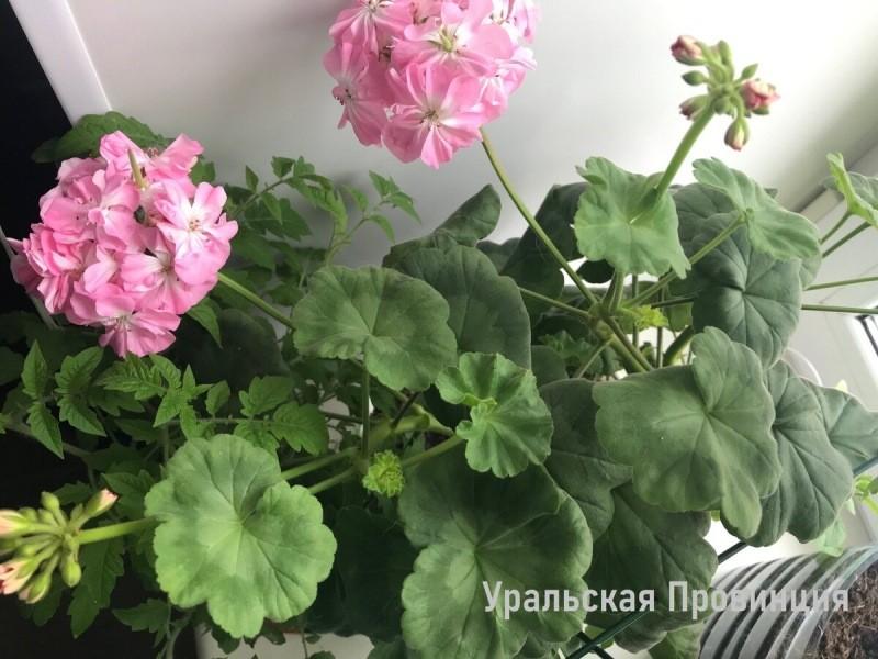 Я не понимала, почему герань не цветёт, а растёт буйно, пока не узнала 3 базовых принципа. Делюсь ими