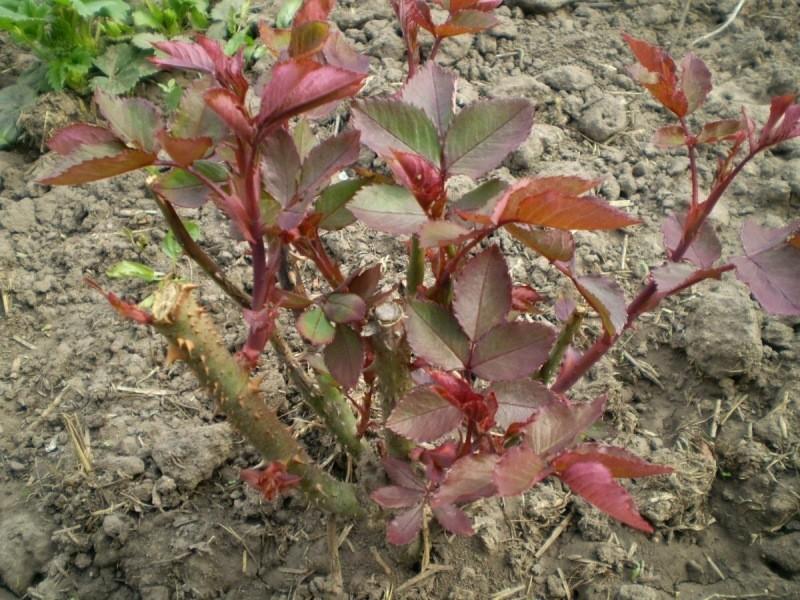 Как и чем подкормить Розы весной, чтобы кусты Активно тронулись в Рост, и радовали пышным Цветением