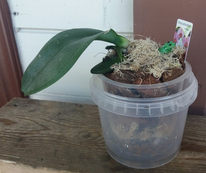Как пересадить Орхидею Фаленопсис, советы и инструкция