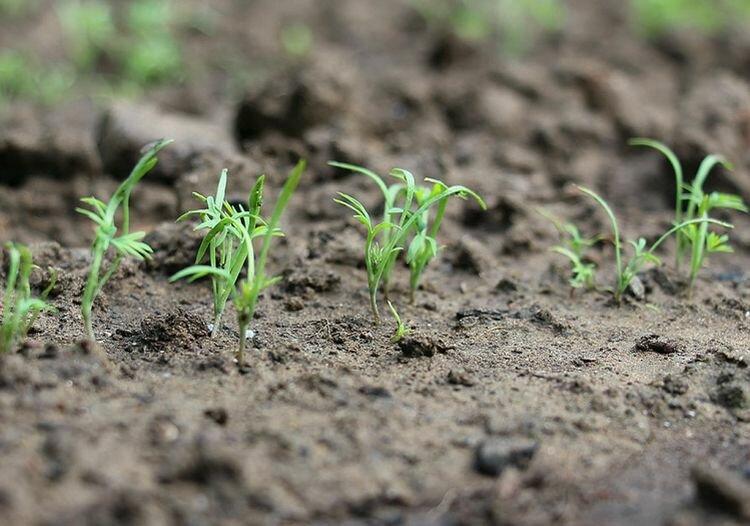 Когда уже можно посадить укроп? Некоторые утверждают, что даже сейчас – по снегу
