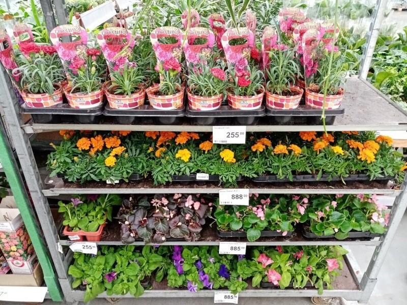 Леруа Мерлен: цветочная рассада с ценами I Почему я передумала покупать саженцы роз