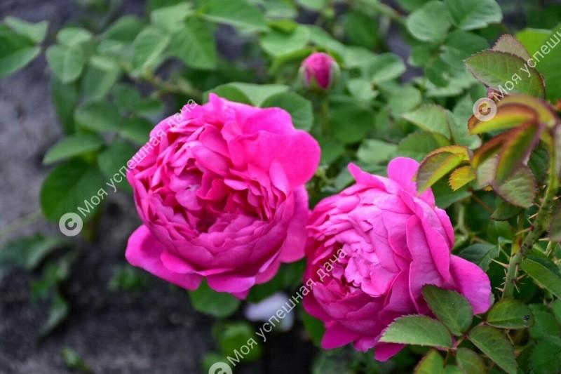 Мой единственный и самый действенный способ обрезки Роз Весной. Мои розы всегда роскошно цветут