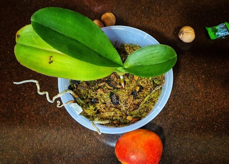 Орхидея-фаленопсис: вопрос-ответ