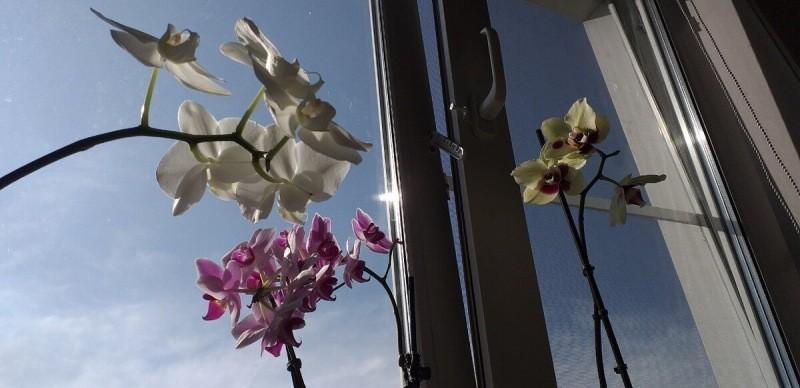 Почему листья и корни у Орхидеи становятся фиолетовыми, 5 основых причин и можно ли это исправить