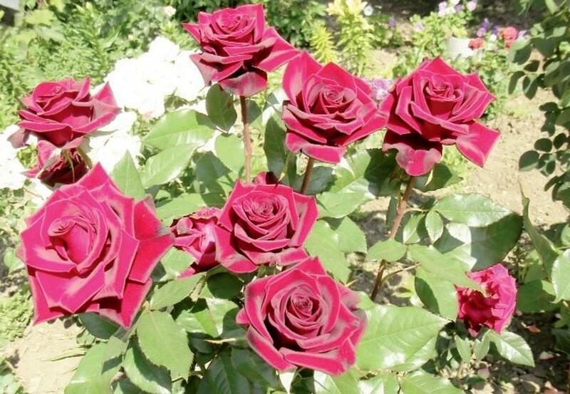 Полезные советы по посадке роз весной
