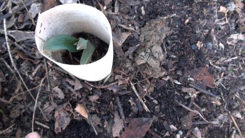 Простой метод выращивания лука порея