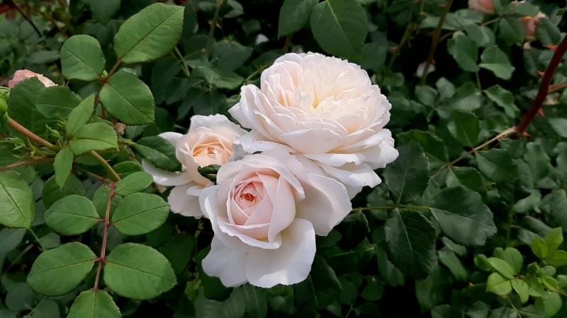Шпаргалка по розам №2. 10-11 апреля 2021 года.