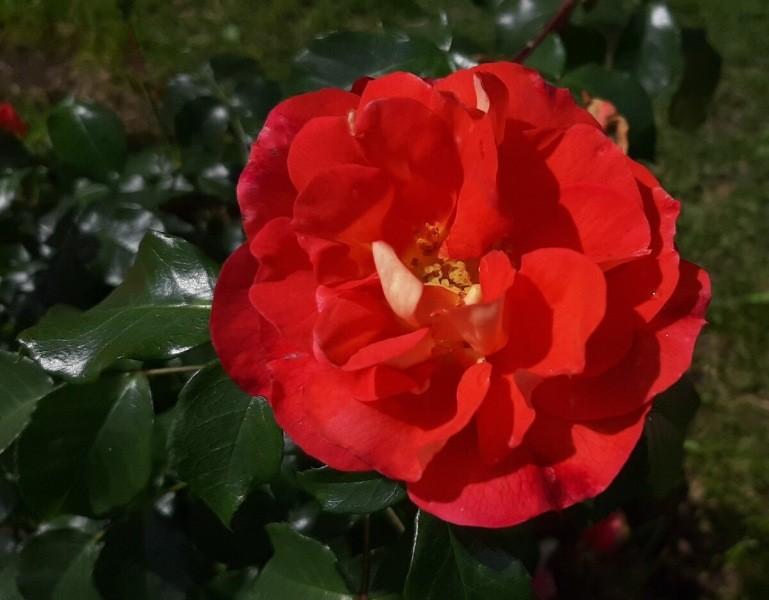 Шпаргалка по розам №3. 17 - 18 апреля 2021 г.