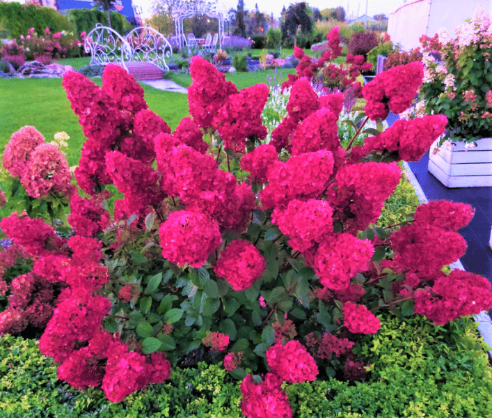 Беззаботный сад! Отличная замена розам, если нет времени на уход и жителям северных регионов